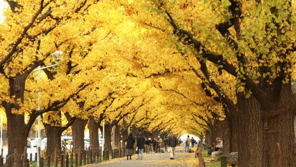 อุโมงค์ต้นแปะก๊วย ประเทศญี่ปุ่น